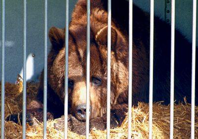 AnimalsUnited_Zirkus Alberti_Bär Ben_(c) Elisa Hanusch (1)_Vorlage